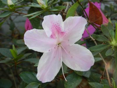 Azelea blossom